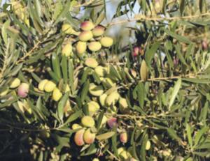 olivo en seto