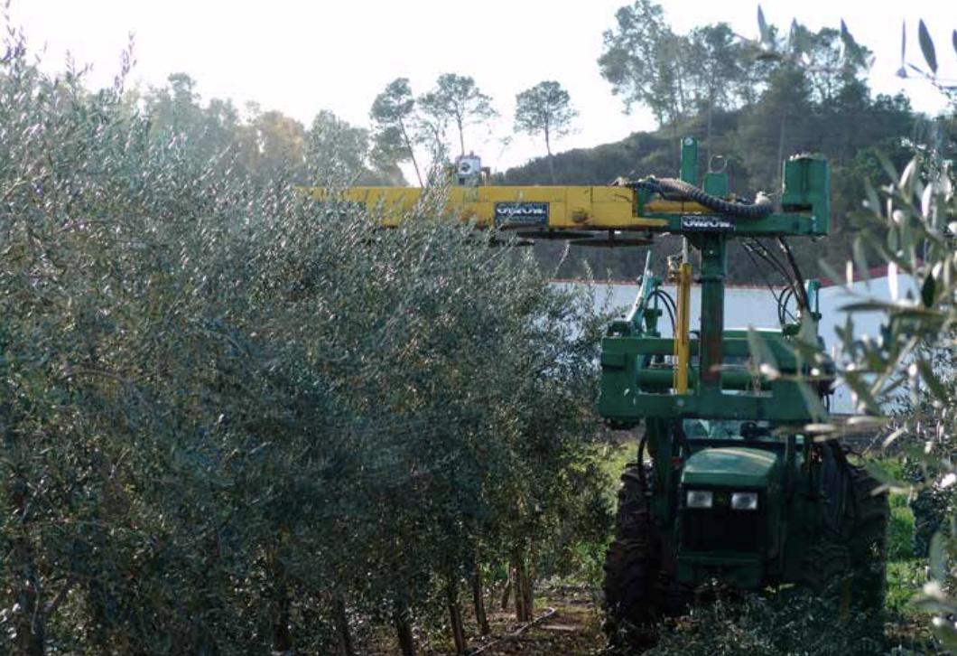 Manejo De La Poda De Producción En Plantaciones De Olivar En Seto