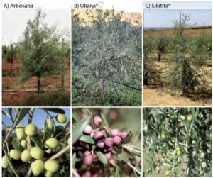 Foto 2. Estructura del árbol, y fructificación de las variedades Arbosana, Oliana® y Sikitita®.