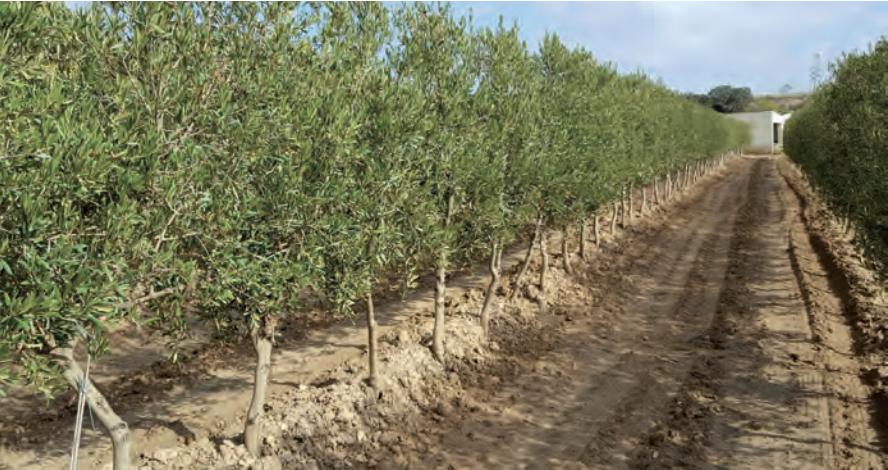 Foto 3. Plantación de olivar en seto en secano en Espiells (Barcelona). Año de plantación 2010.