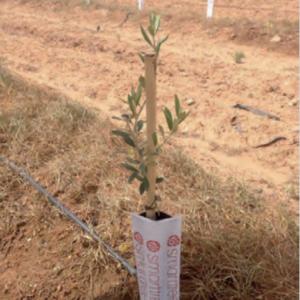 Planta de olivo en formato Smarttree, con un único tutor de 90 cms como estructura de soporte.