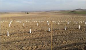 Foto 5. Plantación de 20 has de olivar en secano en la localidad de Gurrea de Gállego, Huesca. Otoño 2016.