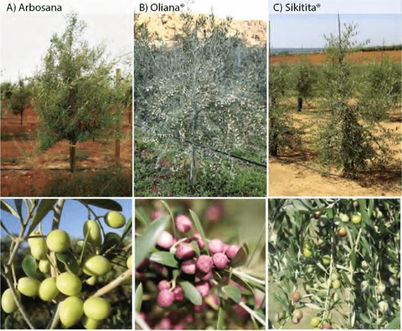 Estructura del árbol, y fructificación de las variedades Arbosana, Oliana y Sikitita.
