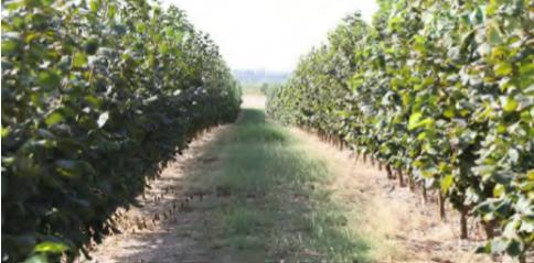 Plantación de avellano en seto en Finca Porxina, en la provincia de Zaragoza.