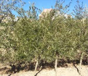 El olivar en seto de secano: Una alternativa innovadora, viable, eficiente y rentable