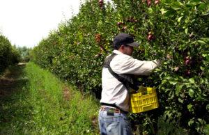 Este sistema de Alta Desidad otorga también la posibilidad de cosecha peatonal para fruta fresca de exportación en el creciente mercado chino (Sistema Doble Propósito), aumentando la rentabilidad.