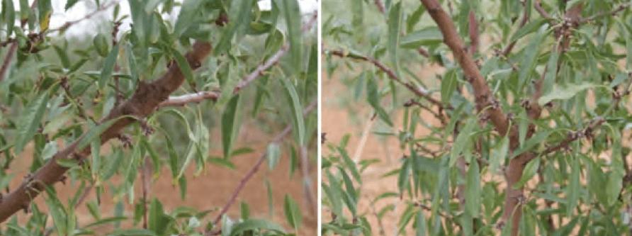 Ramilletes de mayo y dardos distribuidos por las diferentes ramas de la planta.