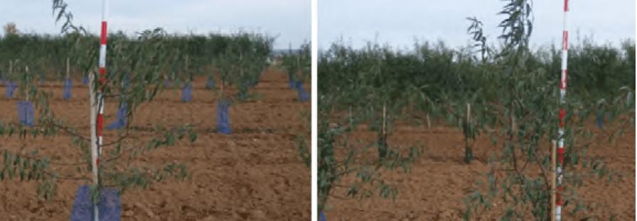 Alturas de las variedades Penta y Lauranne-Avijor plantadas en 2019.
