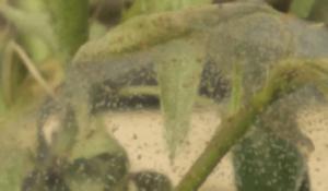 Ataque de araña roja en algunas plantas.
