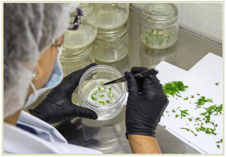 A worker carefully places tissue culture cuttings in a jar containing the appropriate nutrients and hormones to promote root growth.