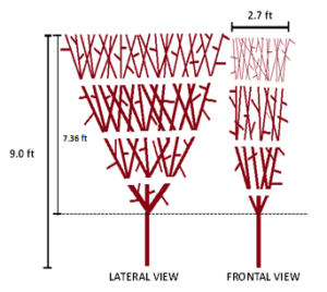 Planting distances and dimensions proposed for the edge (left). Lateral and frontal view of the canopy after consecutive edging (right).