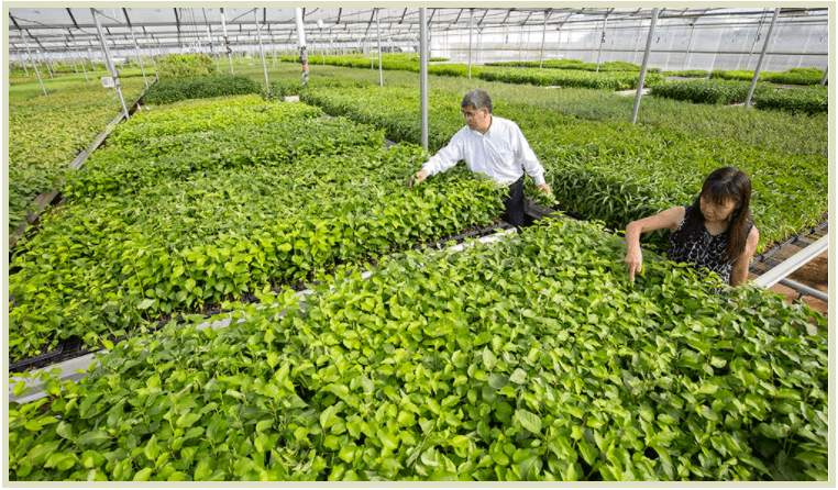 Yongjian Chang and Shirley Feng of North American Plants walk through a nearly endless array of rootstocks that have been propagated through tissue culture and await shipment.