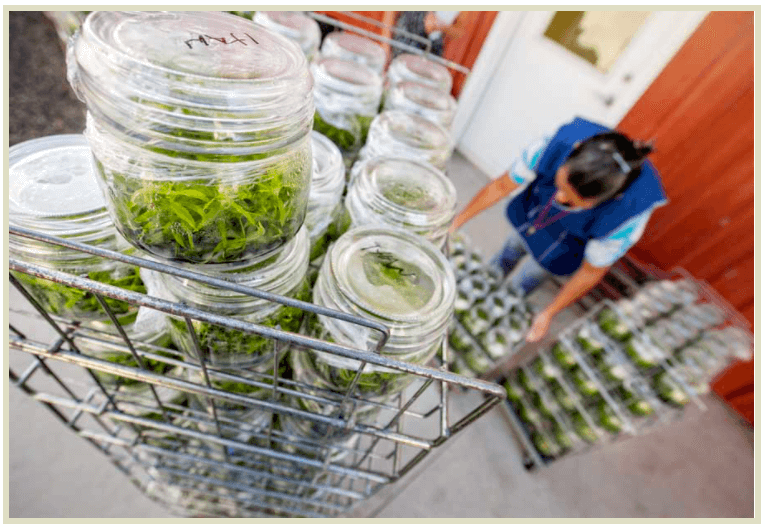 Jars containing tissue cultures are moved to a laboratory to propagate more plants.