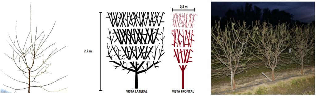 Figura 11: Pinzamientos repetitivos de los brotes, ramificación progresiva y ocupación del espacio asignado para alcanzar al 3er o 4º año el volumen final. A la derecha detalle de árboles plantados en mayo de 2018 en diciembre de 2019, al final de su 2º verde.