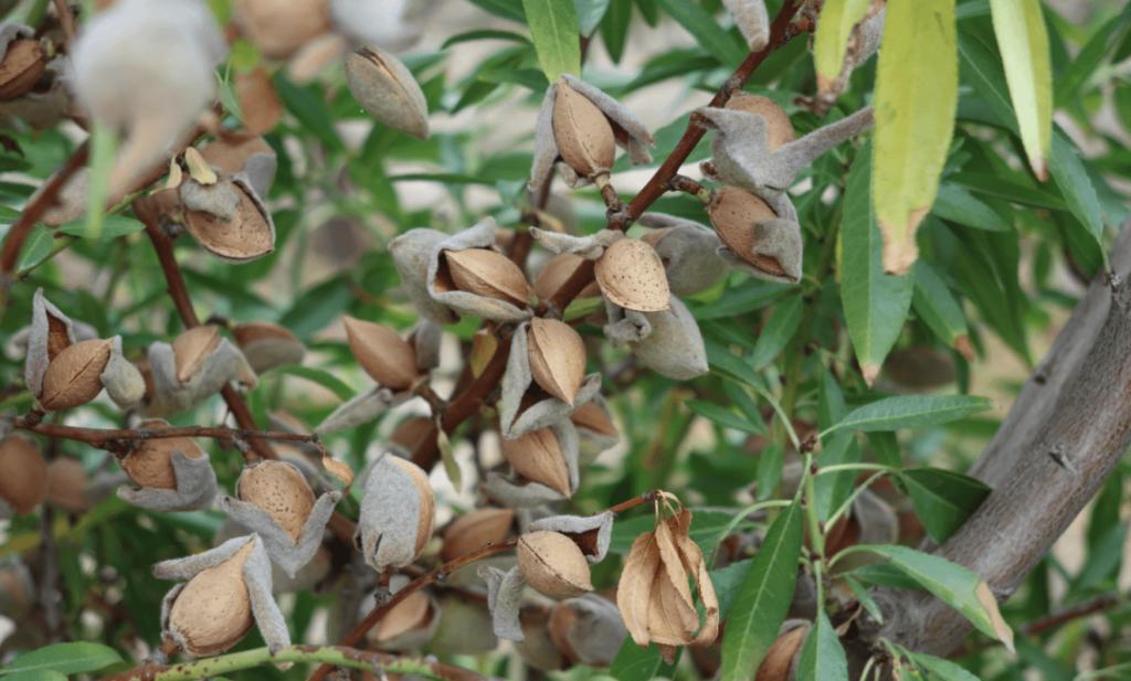 almond in shd