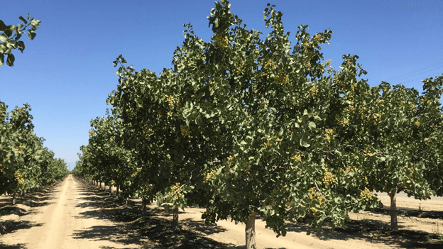 California Pistachio Varieties