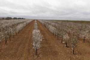 Foto 1. Plantación de 'Soleta' autoenraizada en seto en el inicio de su cuarto año de plantación en Villarobledo (Albacete).