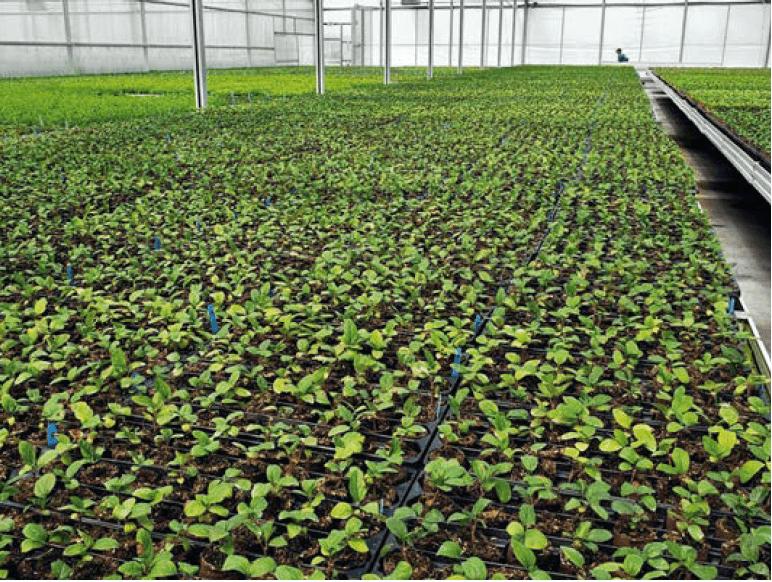Piantine di portinnesto melo in fase di acclimazione ottenute con tecnica sterile di microtalee (North American Plants, Oregon, USA)
