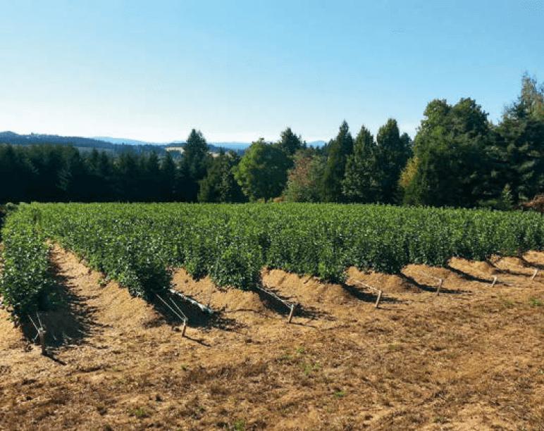 Ceppaia di G.41 (Stato dell'Oregon, USA) piantata con microtalee (2013)