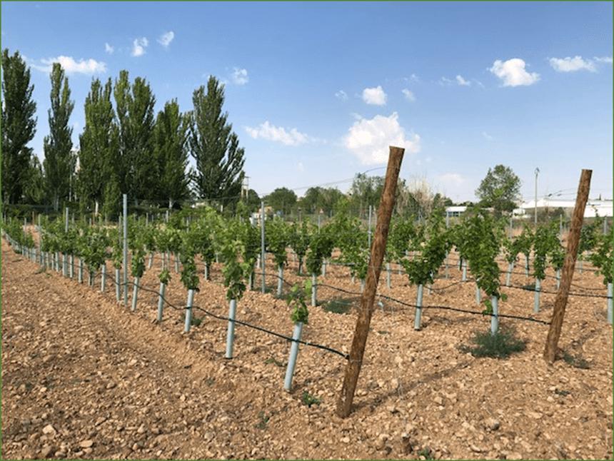 Ensayo de variedades de vid resistentes en colaboración con Itacyl