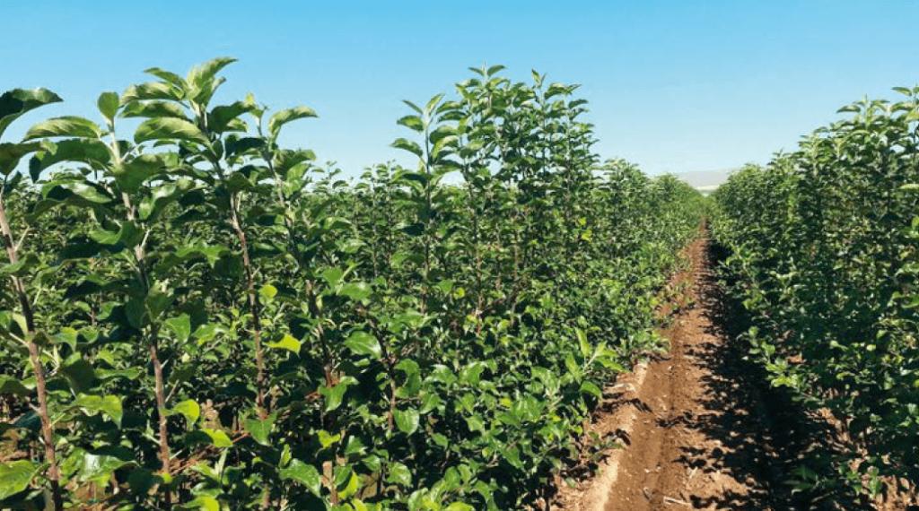 Campo con 350.000 alberi di melo (Stato di Washington, USA) sviluppati su portinnesti Geneva® ottenuti direttamente da micropropagazione (2013)
