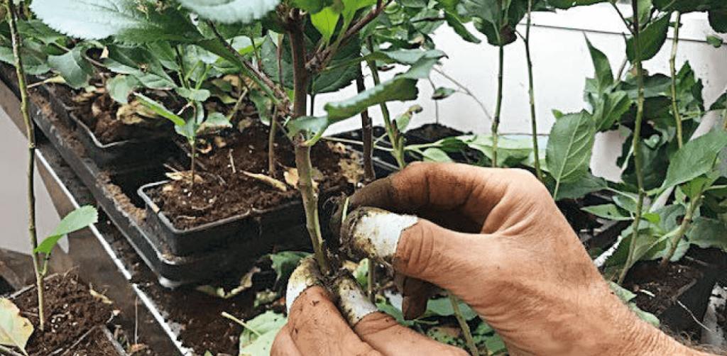 Microinnesto su piante ottenute da microtalee (azienda Agromillora Iberia, Spagna)