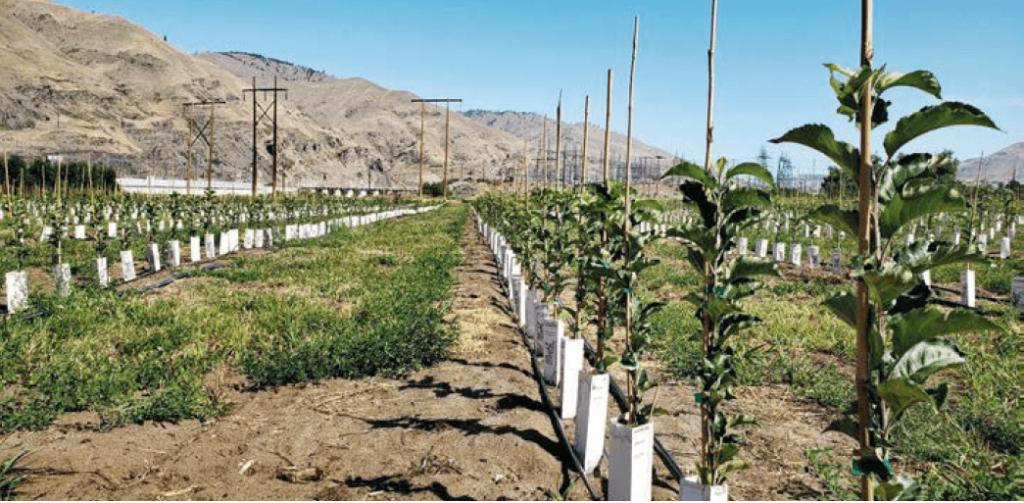 Alberelli della varietà Honeycrisp sviluppati su portainnesti G.969 micropropagati. Questi alberelli sono stati piantati nel mezzo dell'estate nello Stato di Washington (USA)