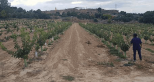 Foto 2. Plantación de pistacho en alta densidad en su segundo año de plantación en Caspe (Zaragoza).