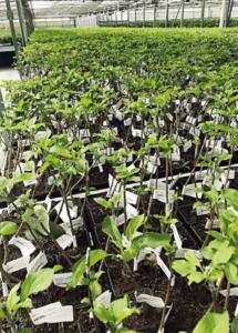 Alberelli microinnestati pronti per lo sviluppo della pianta in serra (azienda Agromillora Iberia, Spagna)