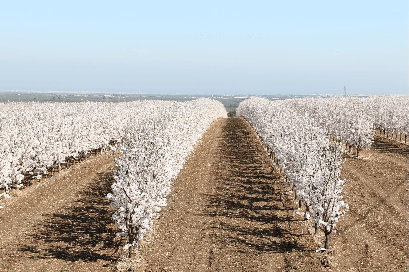 La Intensificación En Especies De Frutos Secos Y El Futuro De Los Secanos