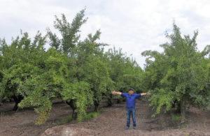 Figura 1.- Diferencias en el volumen y en la arquitectura del árbol correspondientes al vaso tradicional y al seto de la variedad d'Agen en Agrícola San Miguel (Peralillo, O'Higgins, Chile).