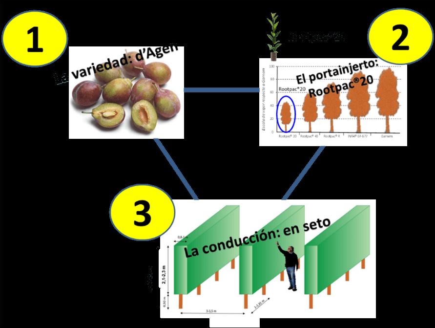 Figura 2.- Los tres factores clave para la nueva propuesta productiva de la ciruela con destino en fresco o deshidratación: la variedad, el patrón y el sistema de formación.