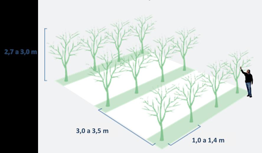 Figura 5.- Plantación de ciruelo europeo d'Agen en seto con la propuesta de distancias de plantación y altura de los árboles.