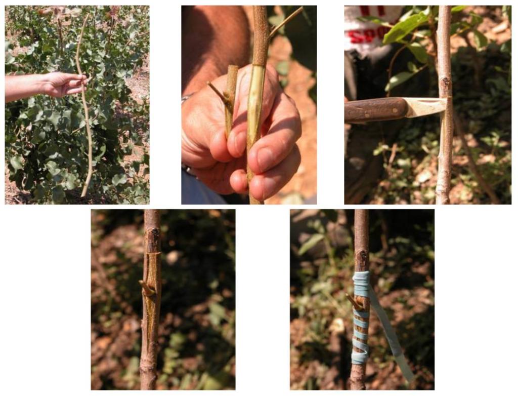 Fotografía nº1: Injerto de escudete, también llamado en T o de yema. Principal técnica de injerto utilizada en el cultivo del pistachero.