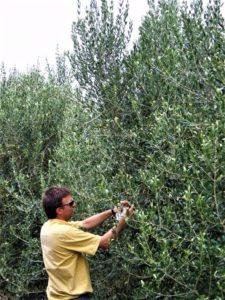 El exceso de vigor dificultara el manejo de la plantación.