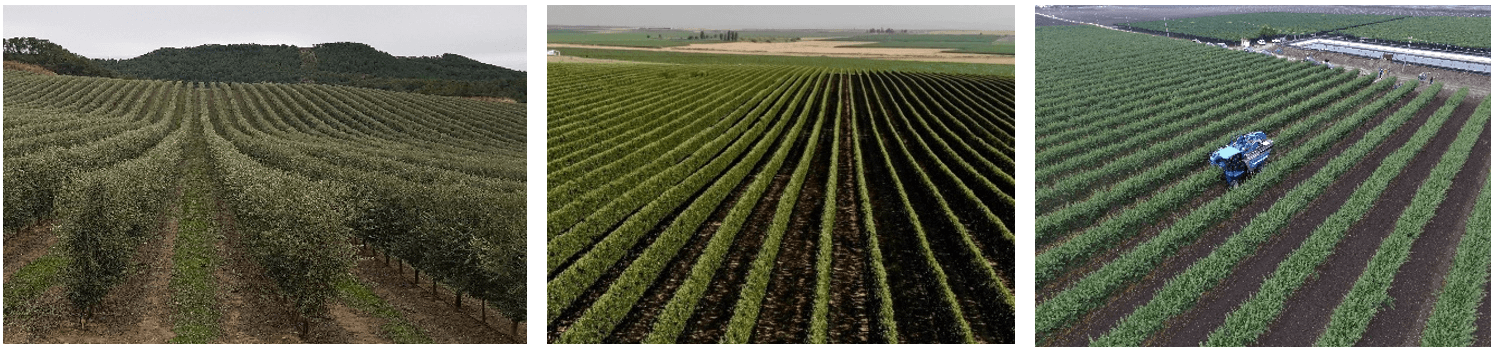 De Izquierda A Derecha, Ejemplos De Intensificación En Nuevas Plantaciones De Olivo, Manzano (Foto: A. Monturiol) Y Almendro (Foto: G. Rutigliano).