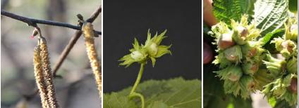 Detalle de los amentos y de la flor femenina (izquierda) y desarrollo de la avellana en las fases de crecimiento del grano (centro y derecha).