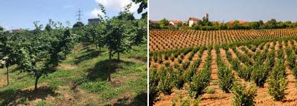Nueva plantación familiar de avellano en Trabzon, área del Mar Negro (Turquía), marco de plantación 5 x 5 m (Fotografía izquierda, HCO Ferrero). A la derecha, nueva plantación en la región de Langhe (Italia), marco de plantación 5 x 4 m. Ambos países aportan el 75% de la producción mundial de avellana.