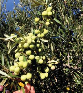 olivos en ses