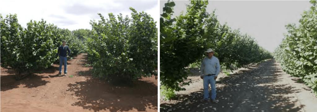 Chile cuenta con las condiciones eda-foclimáticas, el agua y la tecnología para para la producción eficiente de avellano. Ejemplo de nuevas plantaciones multitronco en Collipoli (izquierda) y monotronco en Chillan (derecha).