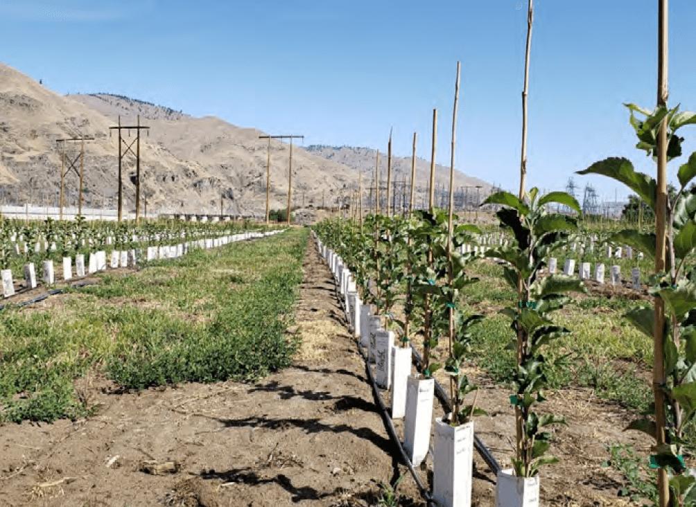 Foto 6. Árboles De La Variedad Heneycrisp Desarrollados En Portainjertos G.969 Micropropagados. Estos árboles Se Plantaron En Mitad Del Verano En El Estado De Washington (USA).