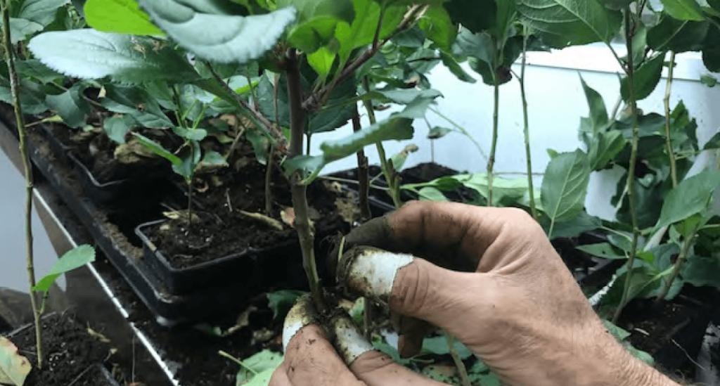 Foto 7. Árboles microinjertados listos para el desarrollo de la planta en invernadero (empresa Agromillora Iberia, España)