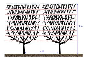 Figura 10: Vista frontal de la copa de los avellanos en seto al final de su segundo año (izquierda) variedades 'Jefferson' y 'Tonda Gentile Trilobata' (árbol derecha). Esquema de la ramificación en árboles adultos, indicando los despuntes realizados y la altura del árbol (esquema derecha).