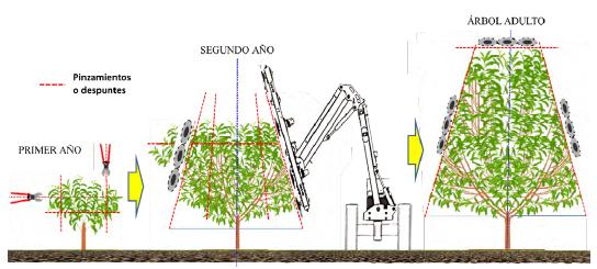 Figura 11: Vista frontal de la copa del avellano en su primer, segundo año y en árbol adulto, indicándose los pases de poda manual o mecánica.