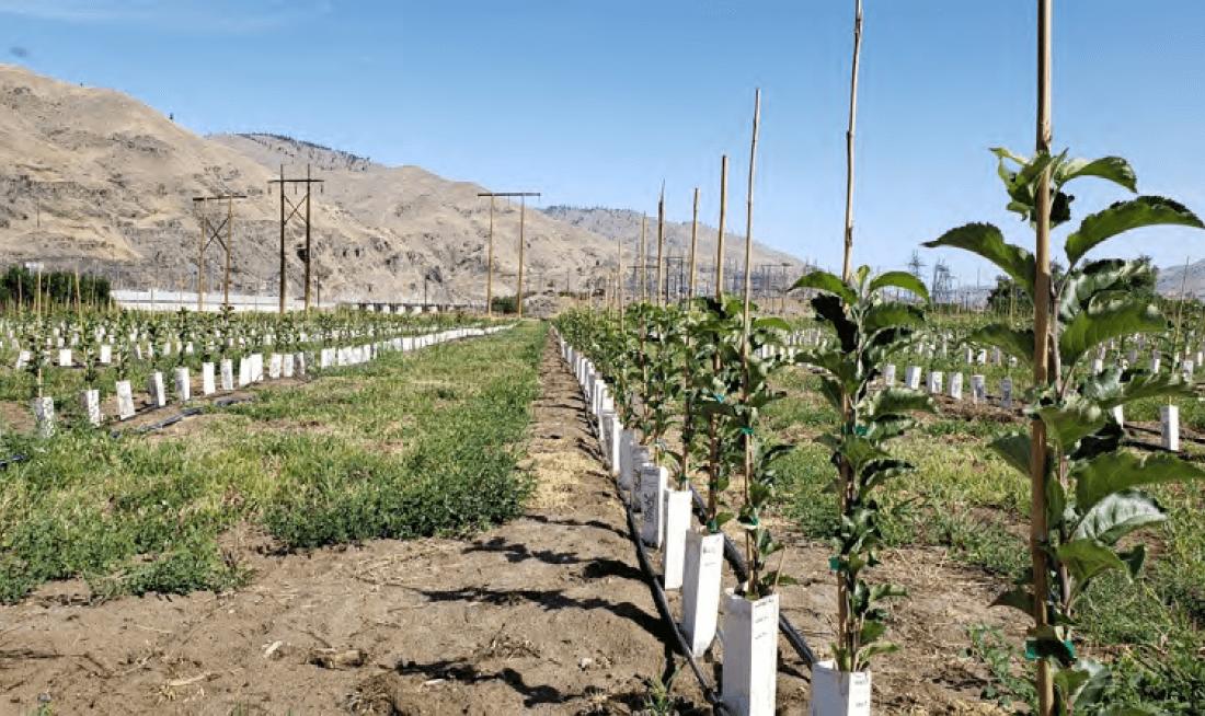 Micropropagación, Una Nueva Oportunidad Para El Manzano