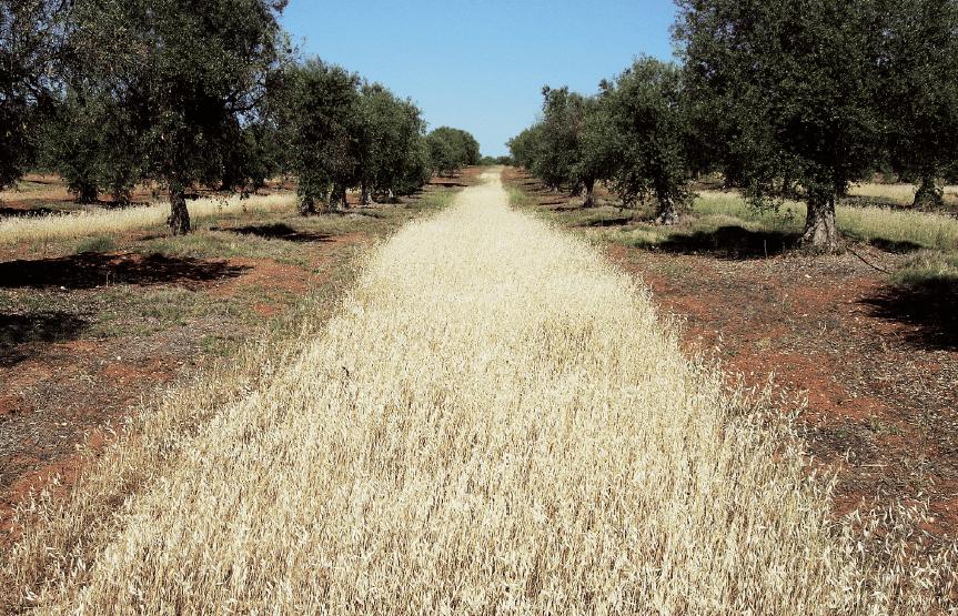 Olivar tradicional con cubierta parcial.