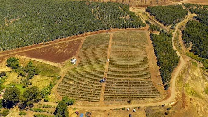 Almendros en suelo de aptitud forestal, rodeados de eucaliptus.