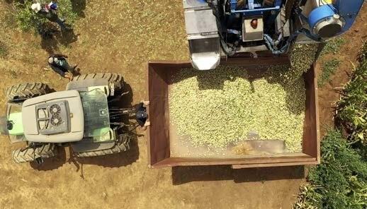 Algunas variedades superaron los 600 kg de pepa/ha al tercer año.