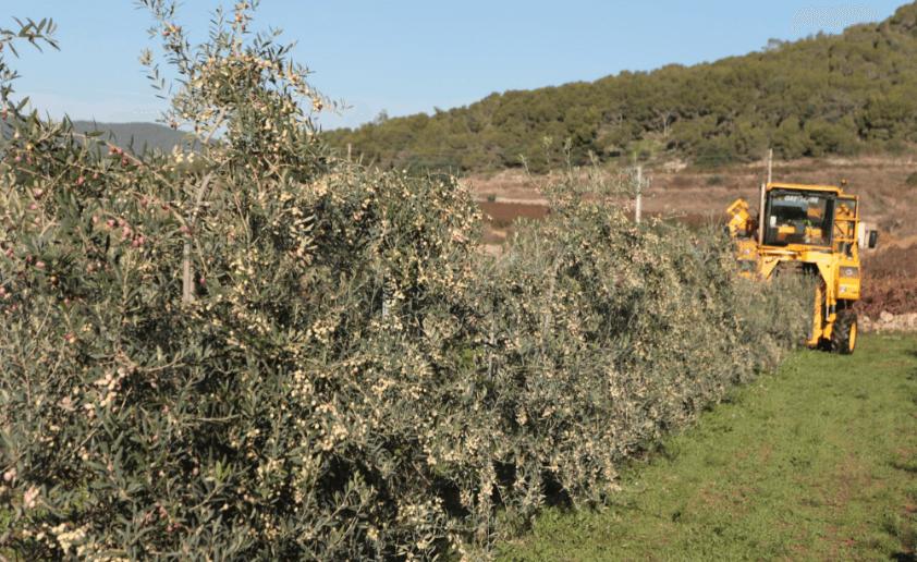 Impacto Ambiental Y Social Del Olivar Superintensivo Al Tradicional
