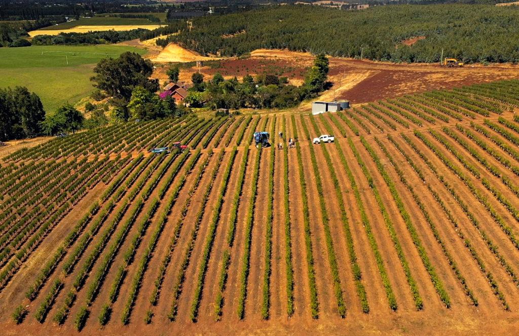 El Almendro y el sistema SES permiten su cultivo en suelos marginales y laderas como en esta foto de Angol, en La Araucanía.